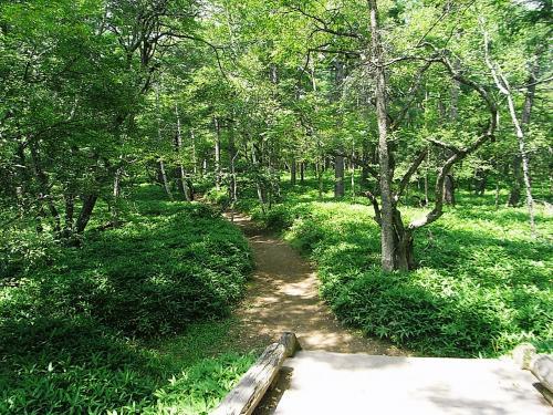 小田ヶ原への道はクマ笹と木々いっぱいの<br />散策コース。