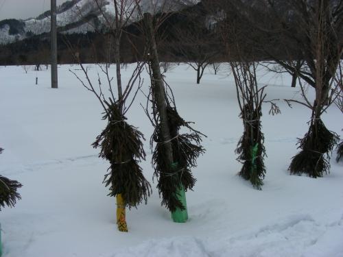 畑の近くで木に生み付けられているカマキリの卵を大場満郎さんが発見、さすが地元で生まれ育った冒険家。<br /><br /> そこでつぶやいたことが「今年の積雪はここまでか!」彼らは生まれてくる子供達が雪に埋もれないように本能?体内コンピュータ?それとも彼らのデータベース?で予測して産卵するとのこと。