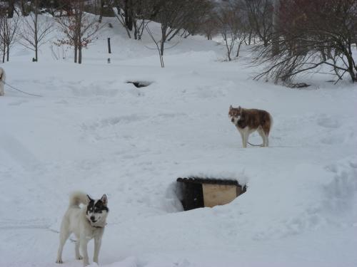 小屋も雪に埋まっているグリーンランドハスキー犬