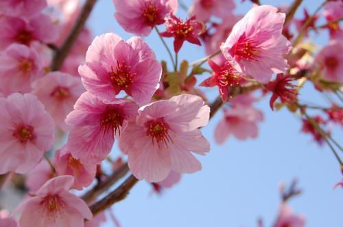 ソメイヨシノではない桜がきれいに咲いていましたわ。<br /><br />春ですねぇ。