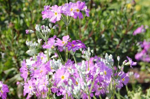 かわいい花も咲いていました。<br /><br />きれいな紫色ですな。<br />