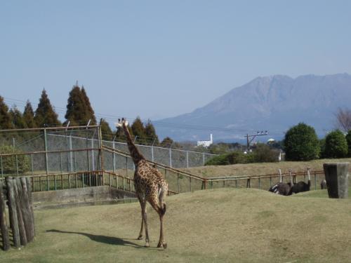 今回は児連れなので動物園に行きました。<br /><br />桜島を借景にして・・・雄大