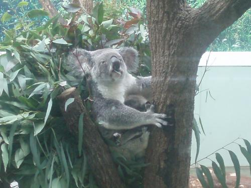 初めての生コアラ!!<br /><br />見にくいけど、赤ちゃんをだっこしてます。