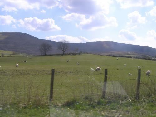 至るところに羊。