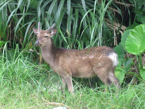 島内を歩いていると、すぐ近くでケラマ鹿に出会えます。<br />小ぶりで可愛らしい顔をしています。