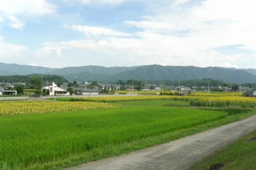 向日葵畑全景。<br />黄色い部分が目立ちます。