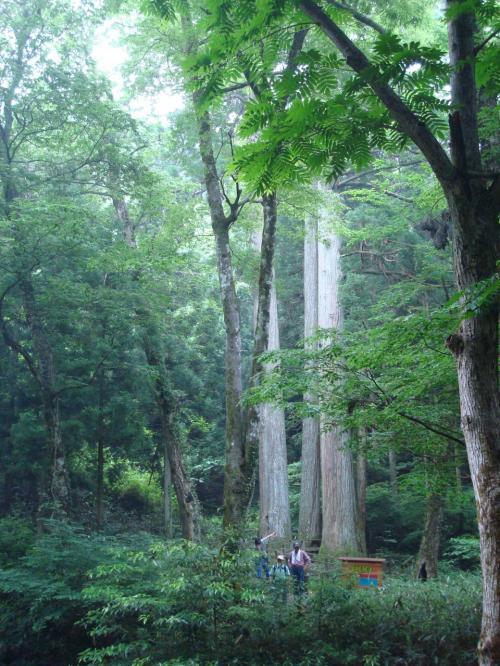 三本杉です。登山口近くまでやって来ました。<br /><br />杉の高さは約46m周りが5.10mあるンですって。ここまで来るのにバテた私は、見に行くのをあきらめました。