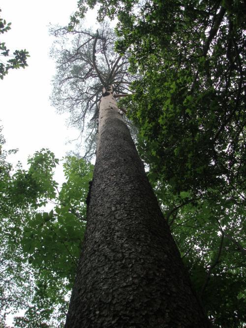 下から見上げてみました。枝がはるか上の方にあるだけ、しかもあのマツのごつごつ感がない。滑らかなさわり心地です。