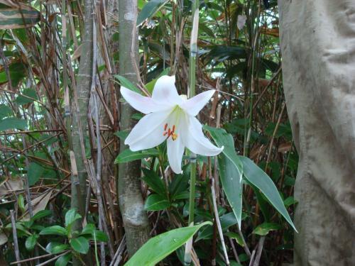 ナメラマツの直ぐ横に咲いていましたササユリ。<br />