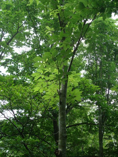「コシアブラ」の木だとか。<br />若い木の芽はおいしいらしい。タラの芽よりも食べやすいとか。<br /><br />葉っぱをもむといい香りがするって。ホントいい香りがしました。