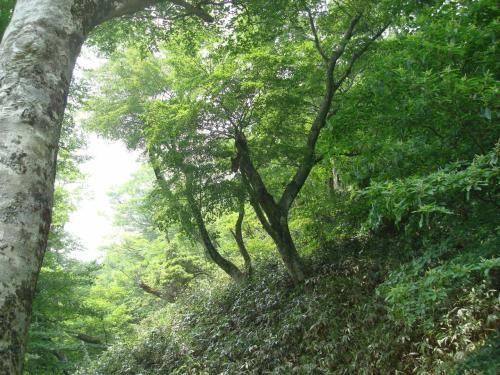 ブナ林の中を下山です。登った道と違うルートで下山しています。