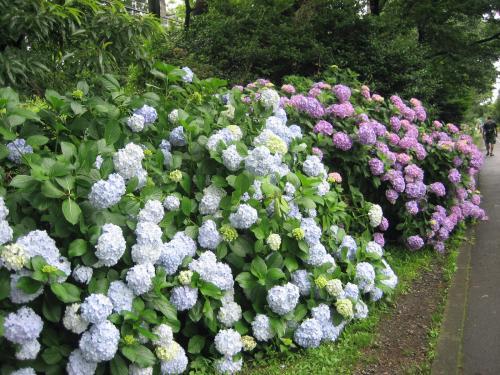 <br />公園じゃなくてもサイクリングロードは紫陽花でいっぱい。