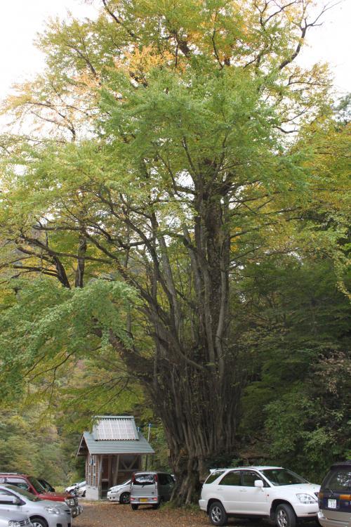 樹齢400年にものぼる桂の木。<br />駐車場の入り口に皆さんの車を見守るかのように立っていました。