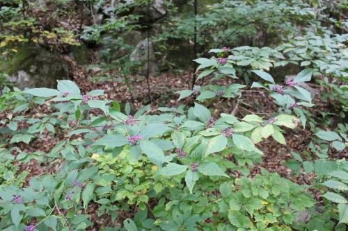 ムラサキシキブも野生は葉も実も大きいように思います。