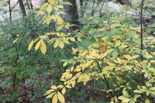 クロモジは黄色に色づいています。