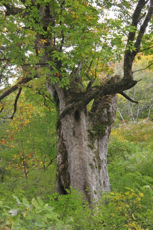 この木の前にも大きな栃の木が立っています。