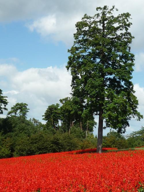 花の丘では<br />春はビオラやポピー、夏はルドベキア、サルビア・ファリナセア、そして秋は、真っ赤なサルビア・スプレンデンスが見頃に。<br /><br />丘一面を覆う季節の花々、、<br /><br />やはり まっ赤な絨毯・・ステキ♪