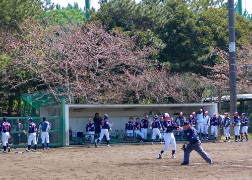 桜は、ちょっとだけ開花。<br /><br />桜の下で、野球っていいね。<br />寒かったけど。