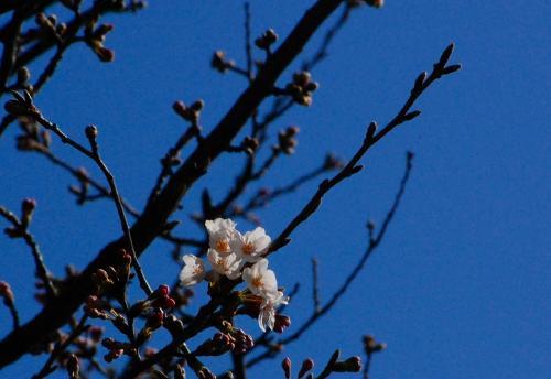 桜は、こんな感じでした。<br /><br />