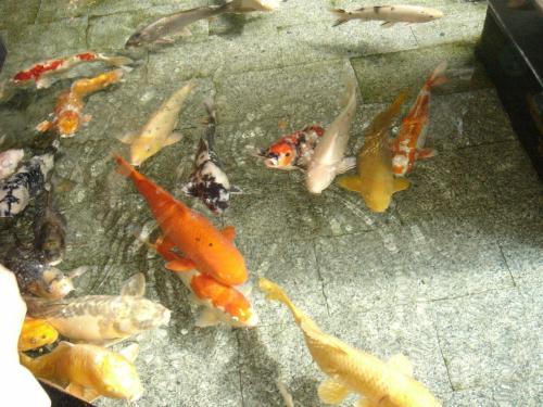 ロビーの方の池をのぞいてみると「鯉」がたくさんいました。<br /><br />少し見ていると宿の方が「餌あげしますか?」と餌を持って来てくれました。<br /><br />冬になって食欲がなくなっていたけど「ちょっと食べる気になってるみたいだから」ということであげてみるとたくさん集まってきて餌を食べていました。