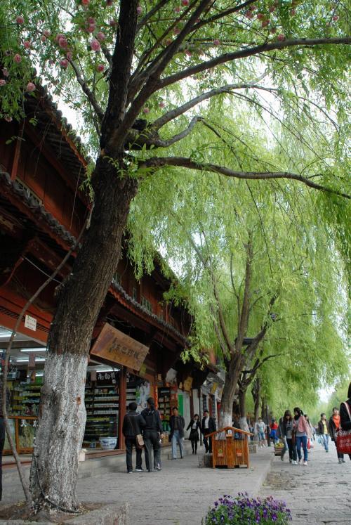こんな感じで、大きな柳の街路樹にまとわりついていました。