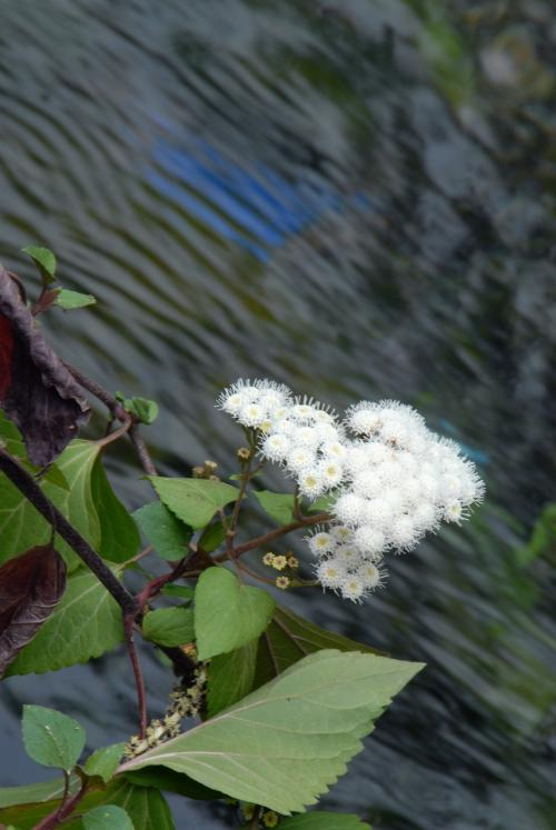 その正体はシオン系の花でした。<br /><br />白い花、明暗のある画面構成だと、ホント撮りづらいです。。。