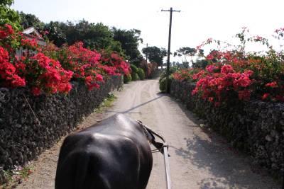 コンドイビーチを経由した後、竹富島の定番、水牛車に乗って島内観光です。
