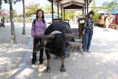 この牛が車をひっはってくれた「さんぴん」ちゃん。<br />30分くらいのコースを1日に2、3回、回るそうです。