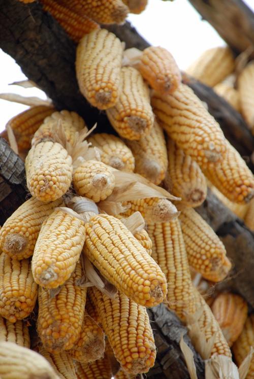 質の良さそうなプリプリの玉蜀黍が架けられております。