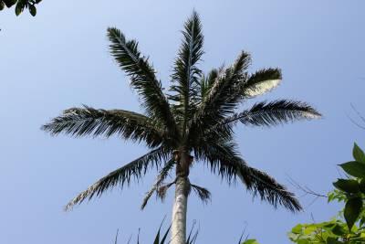 八重山椰子。まさにジャングル。