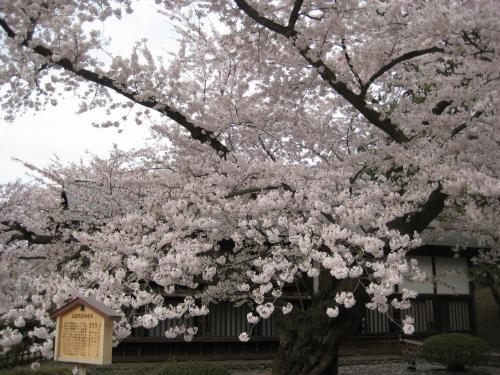 「海外にまでその美を謳われていると云う名木の桜が、今年はどんな風であろうか、もうおそくはないであろうかと気を揉みながら、毎年回廊の門をくぐるまではあやしく胸をときめかすのであるが、今年も同じような思いで門をくぐった彼女達は、忽ち夕空にひろがっている紅の雲を仰ぎ見ると、皆が一様に、「あー」と感嘆の声を放った。」(『細雪』より)