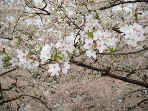 「彼女たちは、ああ、これでよかった、これで今年もこの花の満開に行き合わせたと思って、何がなしにほっとすると同時に、来年の春もまたこの花を見られますようにとねがうのである…。」(『細雪』より)
