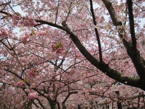 ベンチに寝転んで、花を見上げてみました。<br />ほんの少しの間のことだったのに、私の体中に、びっしりと花びらが降り注いでいました。<br />西行が「願わくば花の下にて春死なむ・・・」と詠んでいるけれど、私も出来ることならば、満開の桜の時期に死にたい!<br />それが無理なら、せめて、桜の樹の下に埋めてもらいたい・・・、なんて話をしていたら、ちびちゃんが、突然わっと泣き出しました。<br />「ママ、死なないで、死なないでよ。ちびちゃんが、百歳になるまで死なないで(←ギネス級だな(笑))。」<br /><br />ごめんね。ごめんね、変なこと言って。<br />なんだか、桜にの妖気にあてられてしまったみたい。<br />桜には、非日常の世界に人をいざなう力があるみたい・・・。<br />