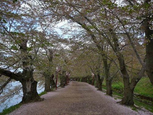 桜のトンネル@弘前公園<br />大館市でお昼を食べて国道7号を北上すること約一時間。<br />渋滞も無く弘前公園に到着。<br />桜祭りが終わったとはいえ駐車場待ちの車列があちこちに…<br />グルリと適当に廻っているとおばちゃんに誘導されて駐車。<br />1000円徴収されました。実はもっと近い駐車場が500円なのを後から知る…orz<br />駐車場から近い名所は「桜のトンネル」だ。<br />もう葉桜のトンネルで残念