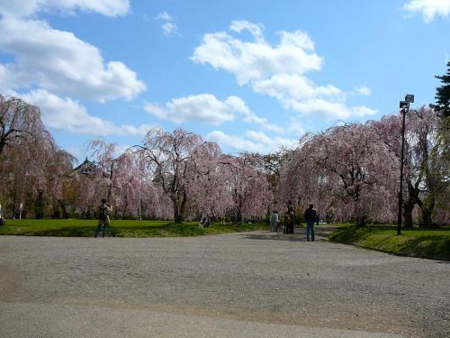 本丸は枝垂桜が満開のまま残っていた!