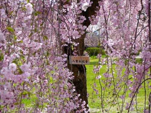 桜は八重紅枝垂