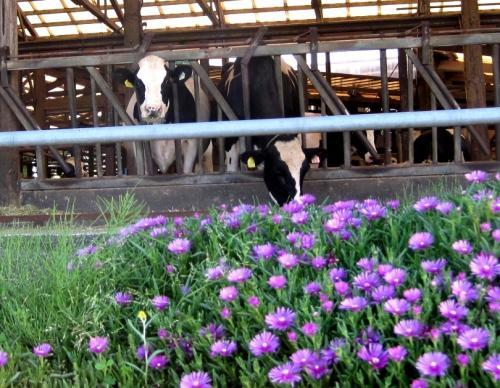 牛さん、カメラ目線です。