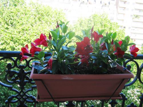 バルコニーに赤いサンパラソルの花が。