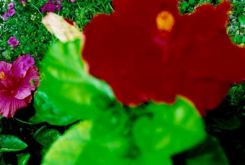 暑い…。<br />この島に来て、春、初夏を飛び越し、一気に真夏が訪れました。<br /><br />浅い夢のような、<br />ふしぎな旅のはじまりを象徴する1枚。<br /><br />真昼の空港に降り立ってすぐ撮った、くらくらするほどの赤い花。