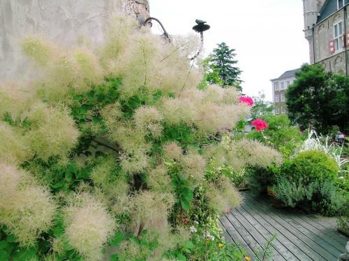 スモーク・ツリー  白い煙のような花です