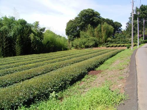 狭山といえばお茶。