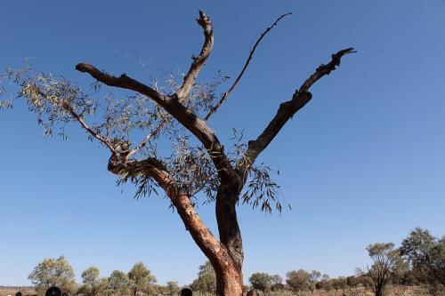 ユーカリの木は水分などが少ないと、自身の枝を枯らせて、省エネモードになるそうです。<br />この枝が落下するため、ユーカリの木の下は避けるというのが鉄則だそうです。