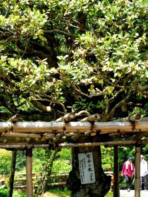 伏見城から移築されたモチの木の前を通って・・・