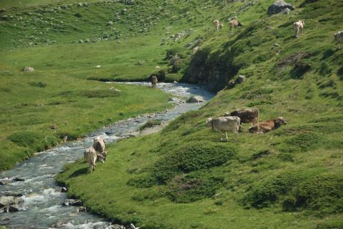 小川の付近に牛がいる。 ♪