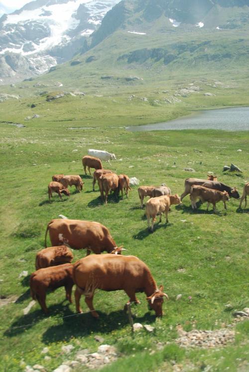 あら。 ♪<br /><br />牛がいっぱい。 〜♪<br /><br />のどか。<br /><br />