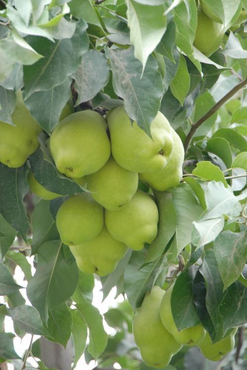 欄干から見える花園には、沢山の梨の木がありました。<br /><br />デカ!!<br />ちょっと中へ入って見てみたいと思います。