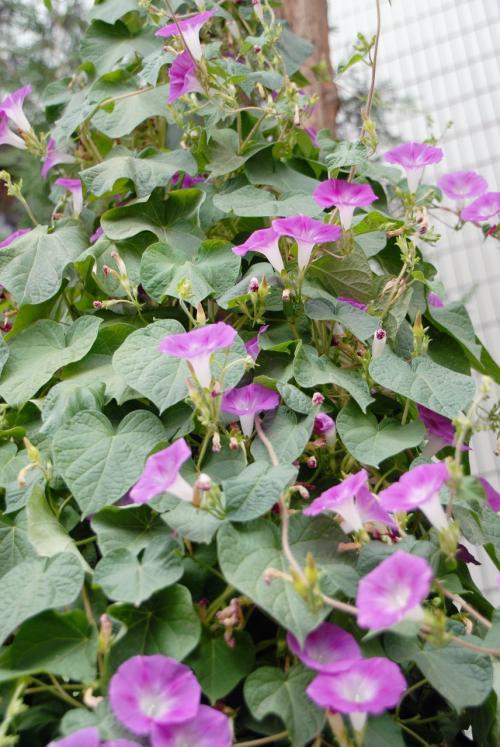 貴賓牢に向かっていると、棚に巻き付く喇叭花(朝顔)が。<br /><br />日本でも流行ったタイプですね。<br />この花は、朝だけじゃなく午後も咲いています。