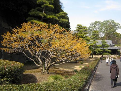 また曲がって<br />黄色の木が逆光に透けて見える<br />「シナマンサク」<br />きれいだ