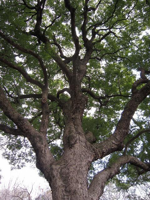 坂を上がりきると<br />広場になっている<br />本丸の跡です<br />ベンチでひと休み<br />前の木をふと見上げると<br />これもすごい<br />楠の木の大木が並んでいる<br />