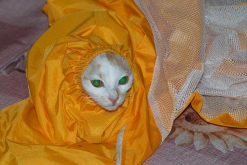 子猫の「来福」は隙間がお好き。<br /><br />三峽ツアーで買った雨具を引きずり回し、挙げ句の果て袖の中に入っちゃいました〜♪<br /><br />耳が引っ掛かって出て来ないです。<br />変な顔・・・(@灬@;<br />でも、両目とも、翡翠の目ですね。